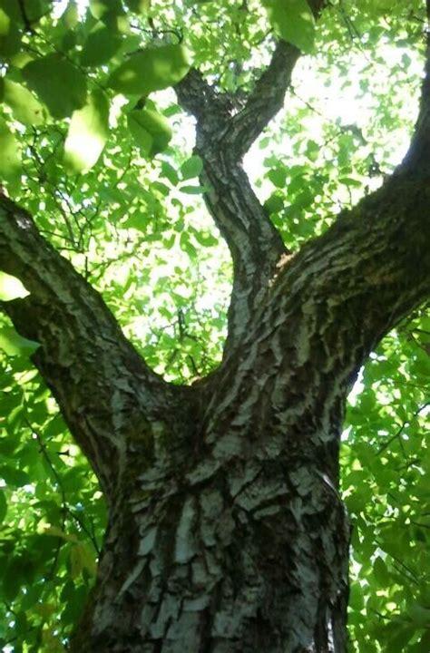 images  walnut trees  pinterest trees  dad  juglans nigra