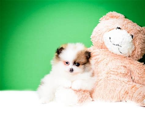 pomeranian ohio 17 best ideas about local puppies for sale on small dogs for sale teacup