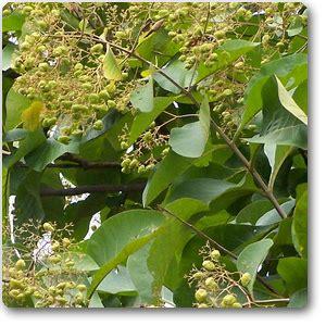 buy teakwood sagwan plant   nursery