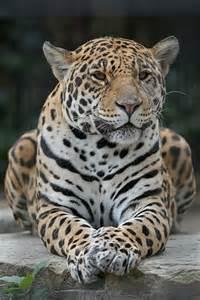 Jaguar Conservation Status 17 Best Images About Luiperd On Leopard Kitten