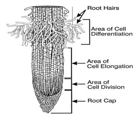 diagram of root tip greenplants2011