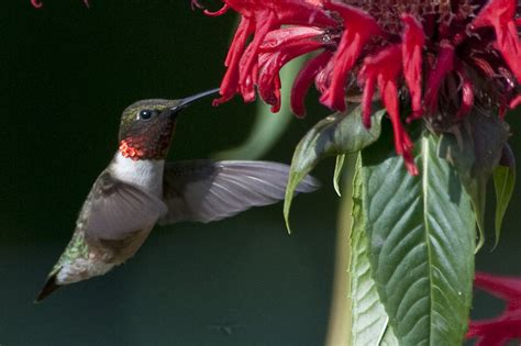 herbs for a hummingbird garden