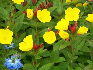 perennial shrub with yellow flowers sundrops primrose fireworks yellow flowers perennial 10