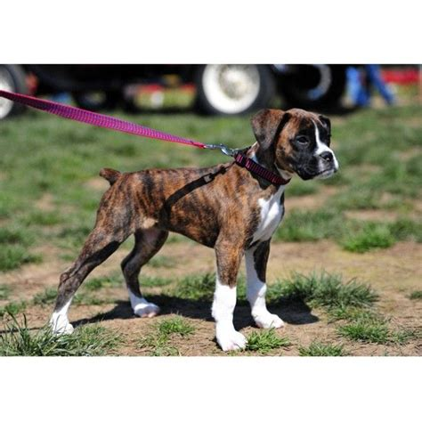 brindle boxer puppies boxer puppy the of my