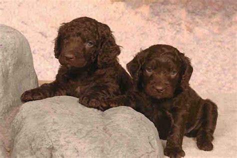 water spaniel puppies puppies picture water spaniel breeds