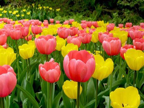 fiori con bulbo fiori da bulbo bulbi piante bulbose