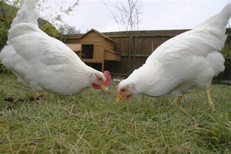 Backyard Chickens Omaha This Battle Is A Real Chicken Fight Realtor 174