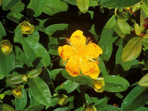 evergreen shrub yellow flowers 205 best images about plant identification on