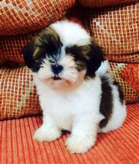 shih tzu forum philippines sale shih tzu puppies for sale adoption from cebu cebu city adpost
