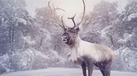 imagenes navideñas renos los renos un animal s 237 mbolo de navidad hogarmania