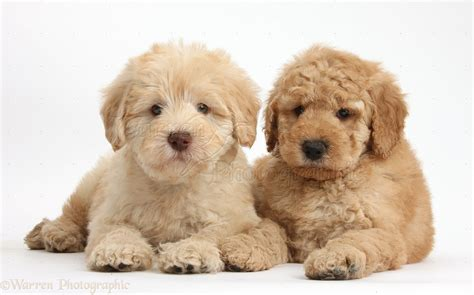golden doodle puppies dogs two goldendoodle puppies photo wp38000