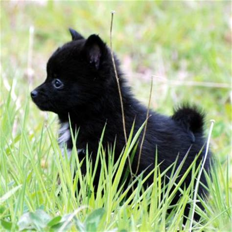 pomeranian schipperke 96 best images about pom mix pups on chihuahuas corgi pomeranian mix and
