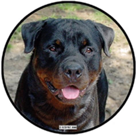 redyre rottweilers the rottweiler in 90 seconds rottie information