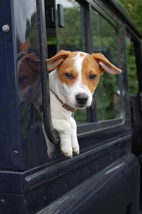 land rover setter dog 1000 images about animals and their landys on pinterest
