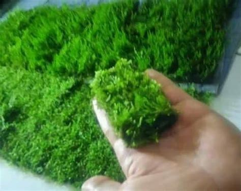 Tanaman Aquascape Moss tanaman aquascape moss flem lempeng pakis jual tanaman