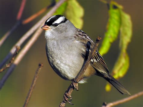 the digiscoper white crowned sparrow