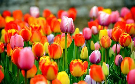 tulip planting tips bestyard com