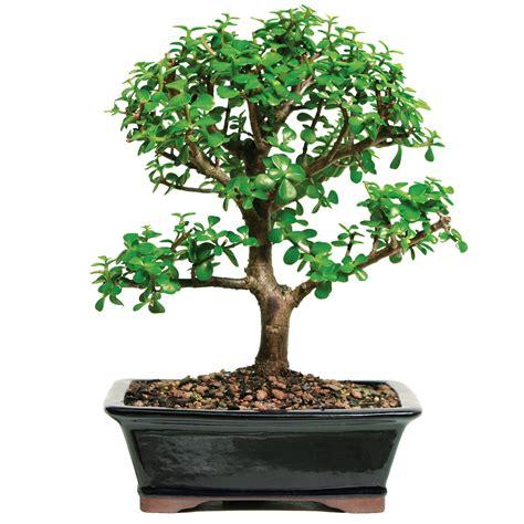 selling mini jade bonsai ideal  indoor  beginners