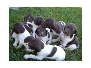 german shorthaired pointer puppies ohio german shorthaired pointer breeders in ohio om hair