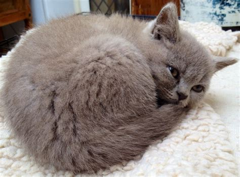 British shorthair Lilac solid, lilac cream kittens