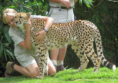 Zoo Keeper by File Australia Zoo Cheetah And Zookeepers Jpg