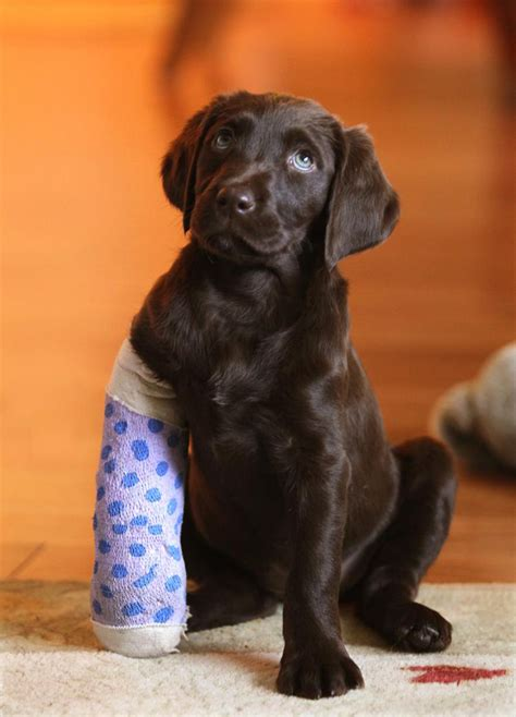 puppy broken leg broken leg atbreak