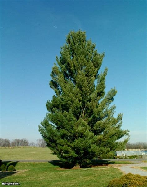 white pine tree care discover 40 types of pine trees from around the world