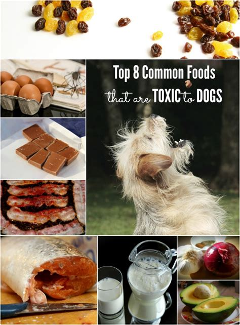 what foods are toxic to dogs top 8 common foods that are toxic to dogs golden woofs
