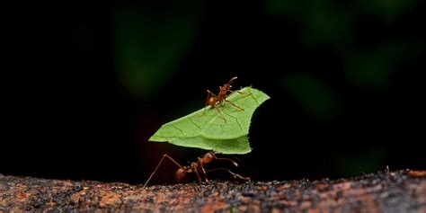 Cutter Ats file leafcutter ants jpg wikimedia commons