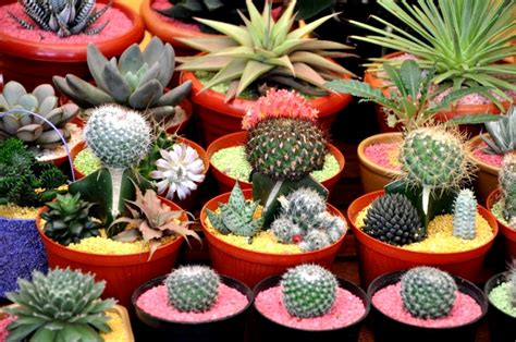 gambar tanaman hias kaktus pernik dunia