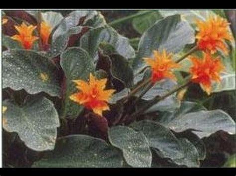 Curcuma Plante D Intã Rieur Plantes D Appartement Jardinage D Int 233 Rieur Rempotage