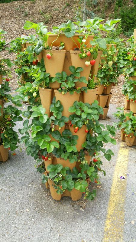 strawberry planter ideas tips for growing strawberries greenstalk