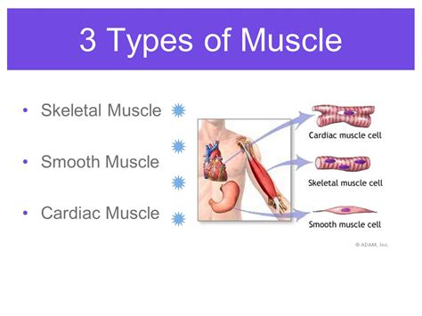 A Tour Of Your Muscular And Skeletal Systems anatomy physiology of the muscular system ppt