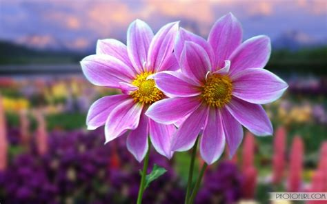 animated flower wallpapers  wallpapers