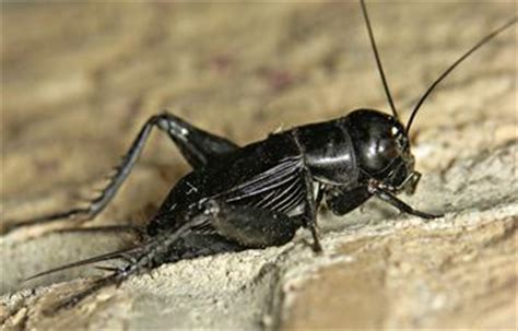 black crickets in house occasional pest invaders