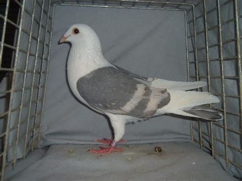 many colors of homing pigeons for sale pigeon talk
