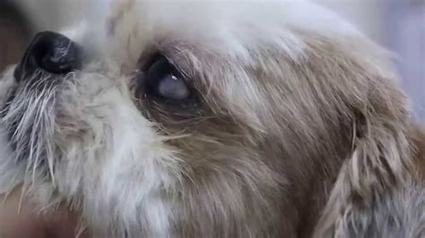 shih tzu cloudy dermoid in a shih tzu s eye 1 2