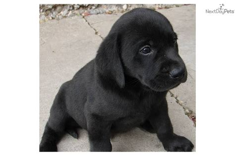 american lab puppies for sale meet buster a labrador retriever puppy for sale for 600 purebred all american