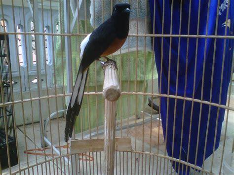 Burung Murai Batu Medan Rp 1 4jt peluang bisnis beternak burung murai batu cara dan