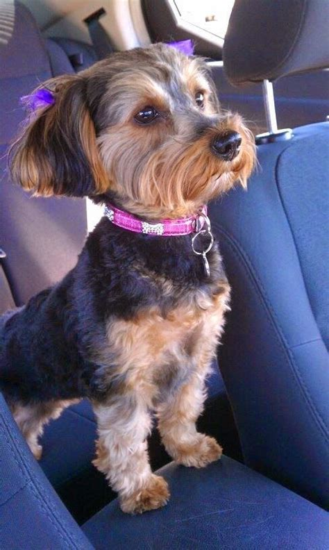 are teacup yorkies hypoallergenic 12 best images about chizers on chihuahuas ux ui designer and