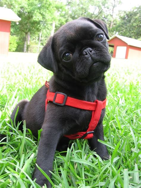 owning a pug 25 best ideas about black pug on black pug puppies baby black pug and