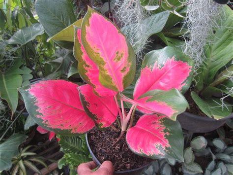 jual tanaman hias indoor aglaonema kochin hybrid murah