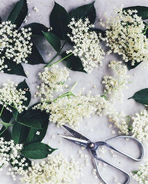 fiori di sambuco ricette sciroppo di fiori di sambuco
