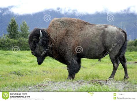 Buffalo L by Bufalo Americano Fotografie Stock Immagine 17723573