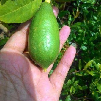 Tanaman Jeruk Sunkist 60cm tanaman jeruk lemon tea lemon bibitbunga