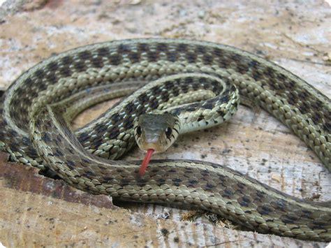 eastern garter snake  garden snake