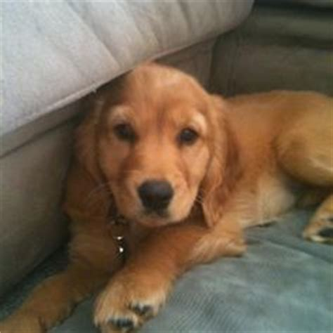 golden retriever cross cavalier this is a cavocker a popular cross breed which means she will show