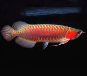 Bibit Ikan Arwana Merah ikan siluk merah satwa pesona nusantara alamendah s