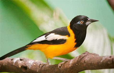 imagenes simbolos naturales venezuela el turpial ave nacional el arag 252 e 241 o