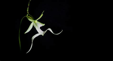 Maria & Aaron's Rare Ghost Orchid   The Oberports